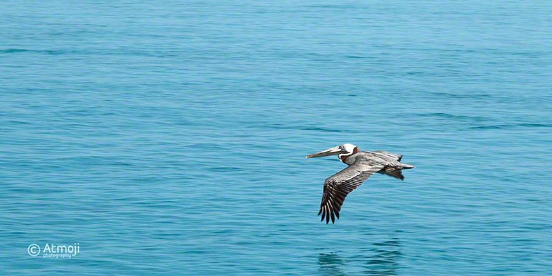 Bimini Frigate Bird