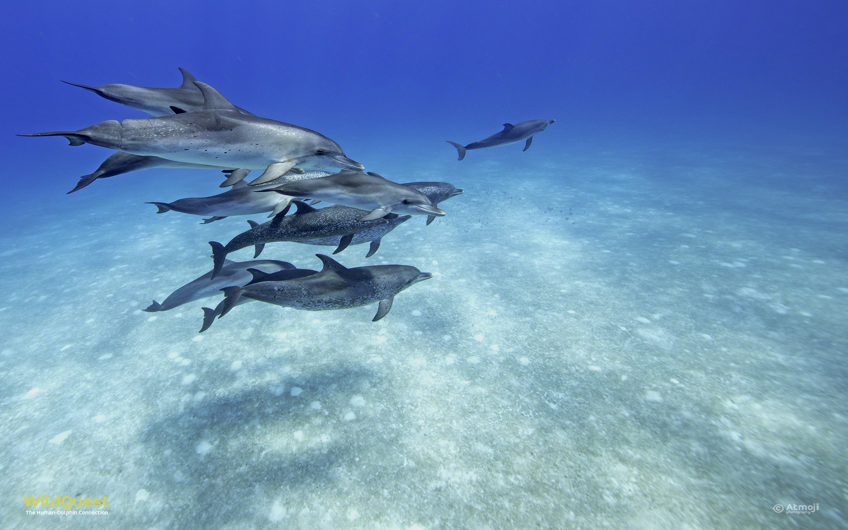 Dolphin Wallpaper WildQuest Wild Dolphin Swims Bahamas