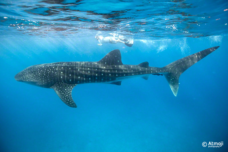 wildquest_whale_shark1