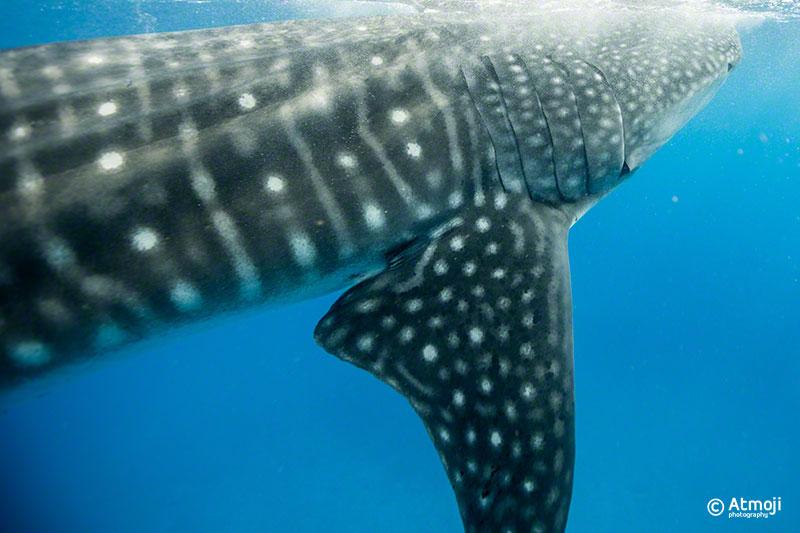 wildquest_whale_shark2