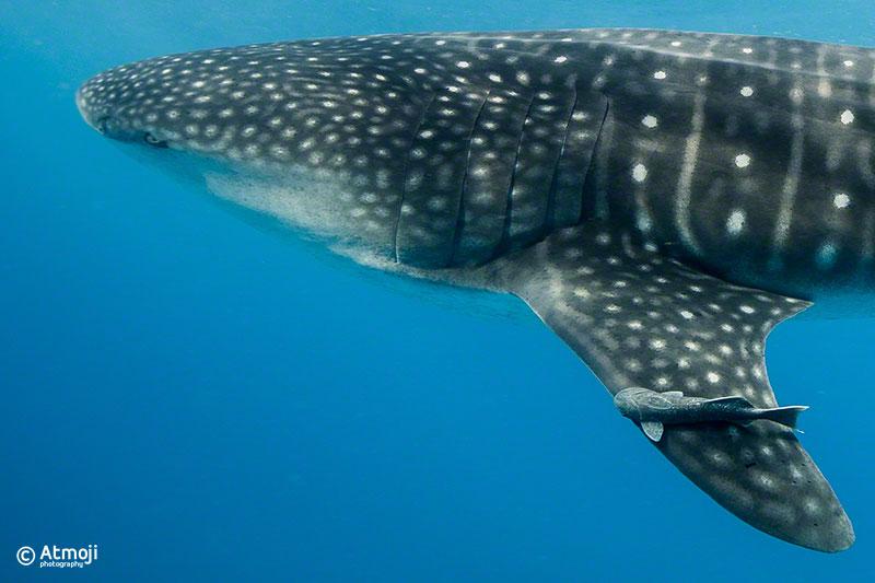 wildquest_whale_shark3