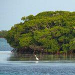 Bimini Mangroves