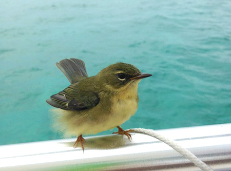 Black-throated Blue Warbler sitting on boat.