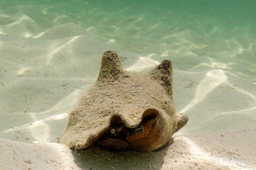 bimini conch