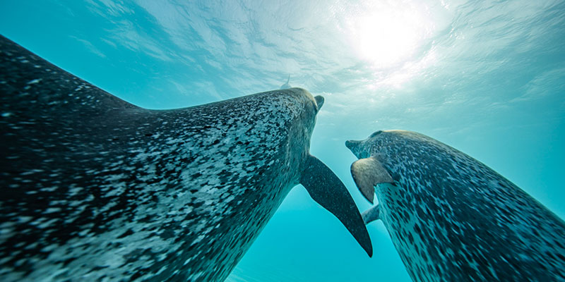 two dolphins diving up