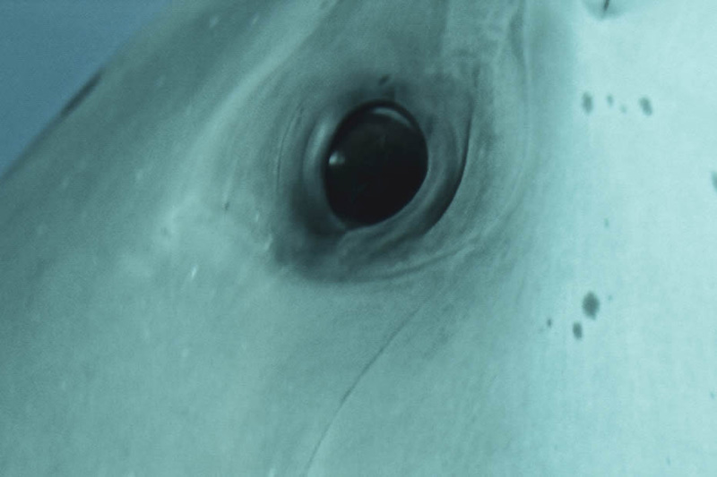 dolphin eye close up