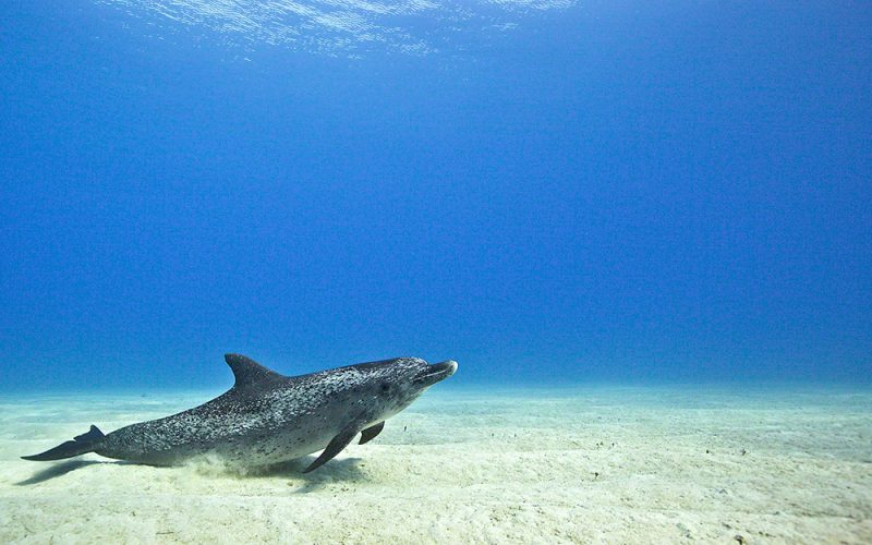 Dolphin Resting