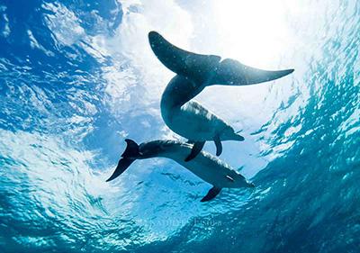 dolphins bimini
