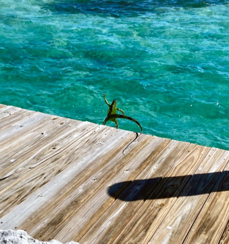 Iguana jumping from a wooden dock into the ocean