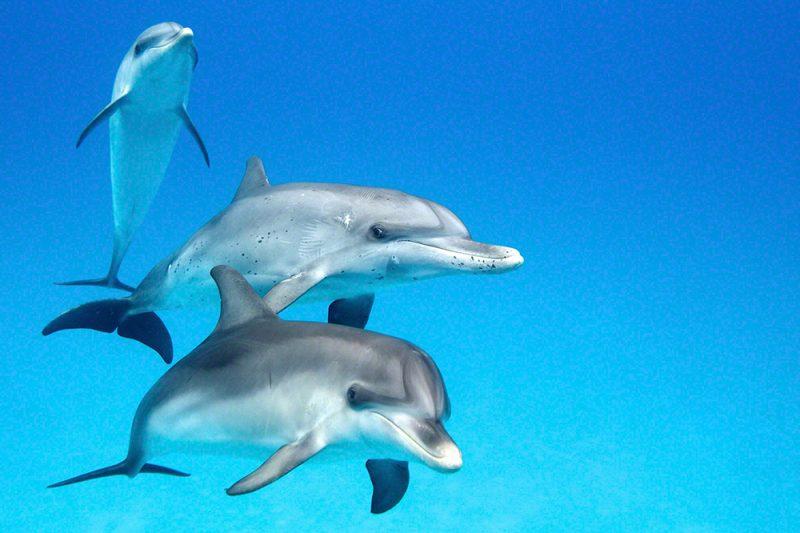 Juvenile Dolphin Trio Facing Camera