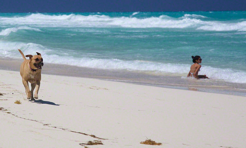 Dog Sandy running wild on the beach of Bimini
