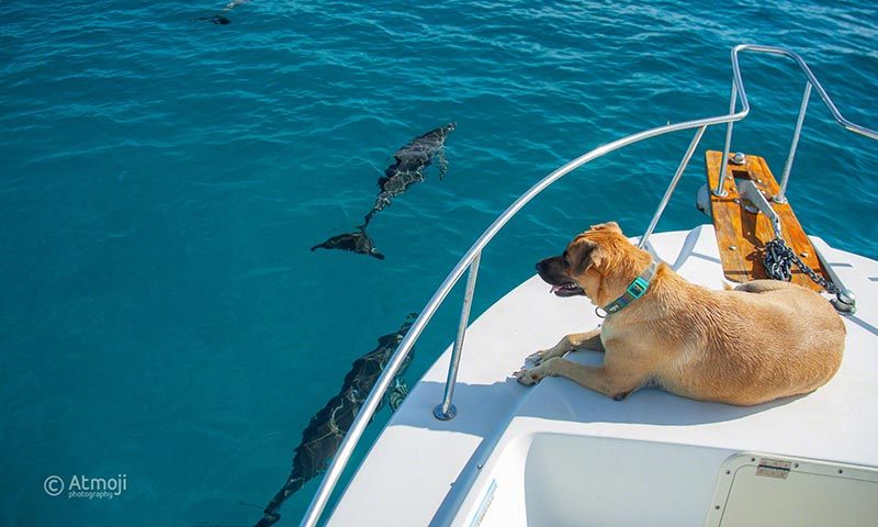 Dog Sandy watching the dolphins play