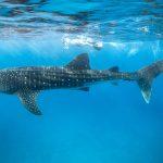 WildQuest Whale Shark